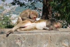 Macaco del reso che governa il suo compagno Immagine Stock Libera da Diritti