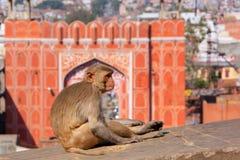 Macaco del reso che si siede su una parete vicino a Suraj Pol a Jaipur, raja fotografia stock libera da diritti