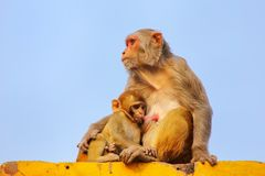 Macaco del reso con un fare da baby-sitter su una parete in neighbo di Taj Ganj Immagine Stock