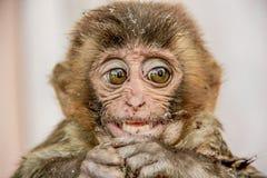 Macaco del reso della scimmia del vecchio mondo Immagini Stock Libere da Diritti