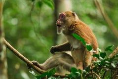 Macaco dell'Assam Fotografie Stock