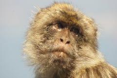 Macaco di Barbary Fotografie Stock