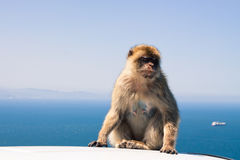 Macaco di Barbary Immagini Stock