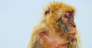 Macaco di Barbary, animale endemico archivi video