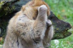 Macaco di Barbary - sylvanus del Macaca Fotografia Stock