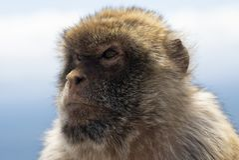 Macaco di Gibilterra Barbery Fotografie Stock