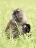 Macaco di granchio-cibo della madre con il bambino Fotografia Stock