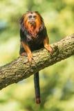 Macaco dirigido dourado do tamarin Imagens de Stock Royalty Free