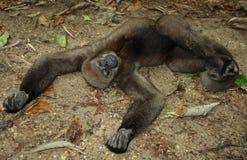 Macaco do Amazonas da floresta tropical Imagens de Stock