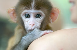 Macaco do animal de estimação Foto de Stock Royalty Free