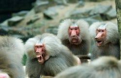 Macaco do babuíno em uma luta fotografia de stock
