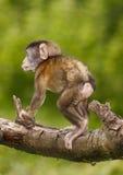 Macaco do bebê Fotografia de Stock