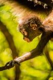 Macaco do bebê Foto de Stock Royalty Free
