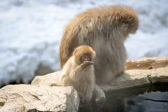 Macaco do bebê com beber da mãe Imagem de Stock