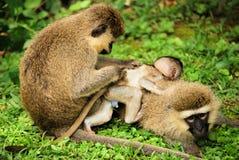 Macaco do bebê com família Imagens de Stock Royalty Free