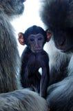 Macaco do bebê com pais imagem de stock royalty free