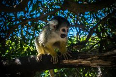 Macaco do bebê em uma árvore fotos de stock royalty free