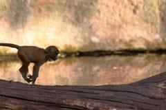 Macaco do bebê que salta no jardim zoológico em Alemanha imagem de stock royalty free