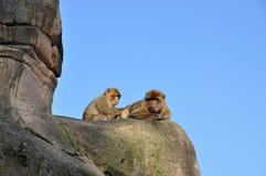 Macaco do Berber que procura pulga Foto de Stock Royalty Free