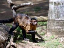 Macaco do Capuchin Fotos de Stock Royalty Free