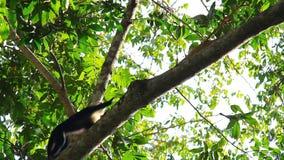 Macaco 1 do Capuchin vídeos de arquivo