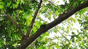 Macaco 2 do Capuchin video estoque