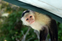 Macaco do Capuchin Imagem de Stock Royalty Free