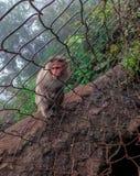 Macaco do inverno em um monte imagem de stock