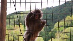 Macaco do japonês do bebê video estoque