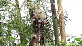 Macaco do lêmure em um parque dos animais selvagens video estoque
