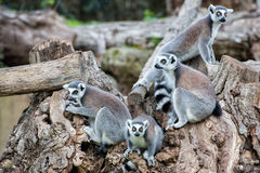 Macaco do lêmure em uma árvore Foto de Stock Royalty Free