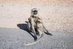 Macaco do langur do bebê com langur da mãe Fotografia de Stock