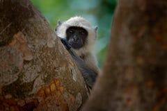 Macaco do Langur, entellus de Semnopithecus, macaco que senta-se na árvore, habitat da natureza, Sri Lanka Cena de alimentação co imagem de stock