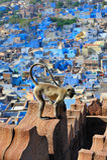 Macaco do Langur sobre o jodphur Fotos de Stock