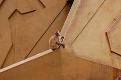 Macaco do macaco nas rochas   Foto de Stock Royalty Free