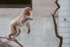 Macaco do Macaque (neve) Foto de Stock Royalty Free