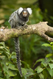Macaco do Marmoset em uma filial Imagem de Stock Royalty Free