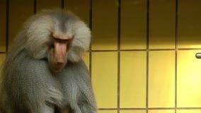 Macaco do orangotango filme