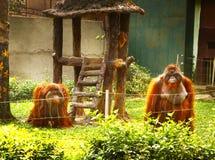 Macaco do orangotango no jardim zoológico de Vietnam Imagem de Stock