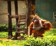 Macaco do orangotango no jardim zoológico de Vietnam Foto de Stock Royalty Free