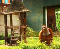 Macaco do orangotango no jardim zoológico de Vietnam Imagem de Stock Royalty Free