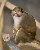 Macaco do pântano de Allen Foto de Stock Royalty Free