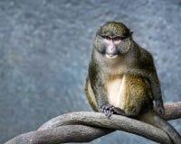 Macaco do pântano do ` s de Allen foto de stock royalty free