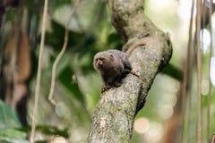 Macaco do pigmeu em um Brach imagens de stock