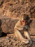 Macaco do retrato Fotografia de Stock
