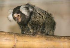 Macaco do Rio imagem de stock