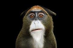 Macaco do ` s de De Brazza fotografia de stock royalty free