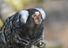 Macaco do sagui imagem de stock royalty free
