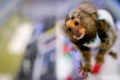 Macaco do sagui fotografia de stock royalty free