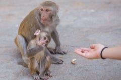 Macaco do smiley Fotografia de Stock